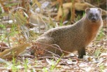 Marsh Mongoose (3)